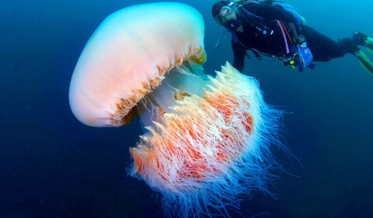 Top 10 biggest jellyfishes in the world