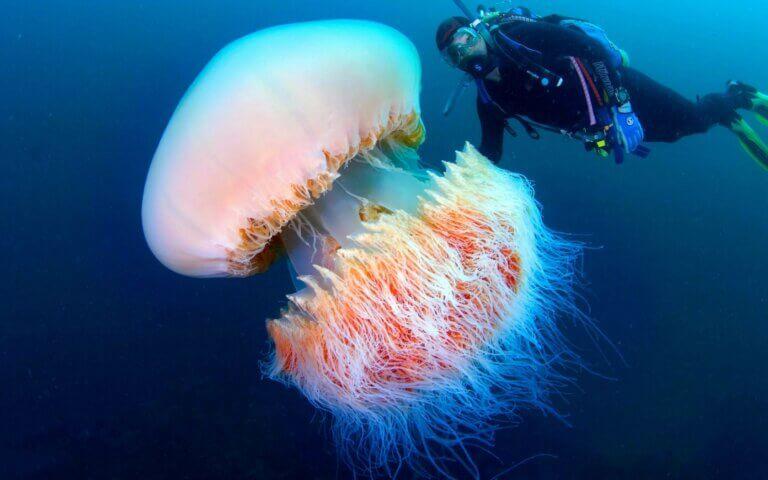 Biggest Jellyfishes