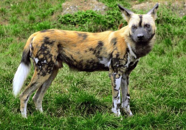 Hyenas Dog