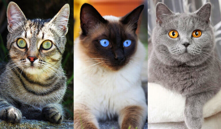 Top 10 smartest cat breeds in the world