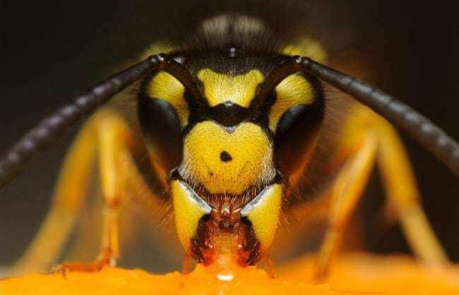 Asian Bumblebee