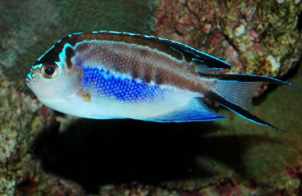 Ornate Angelfish