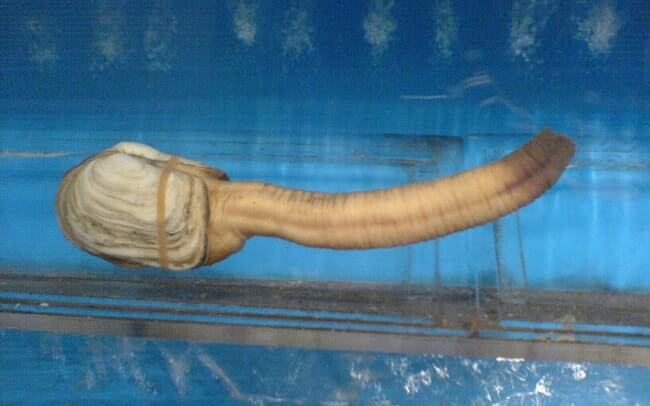 Pacific Geoduck