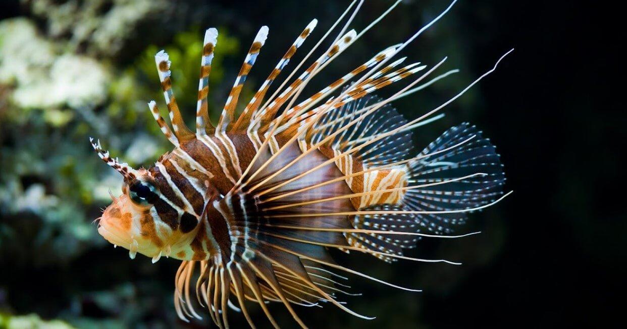 Radiant Lionfish