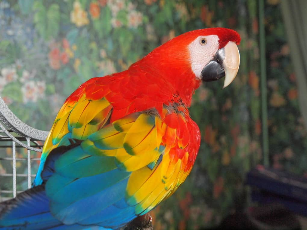 A Parrot Saved A Girl From Suffocation