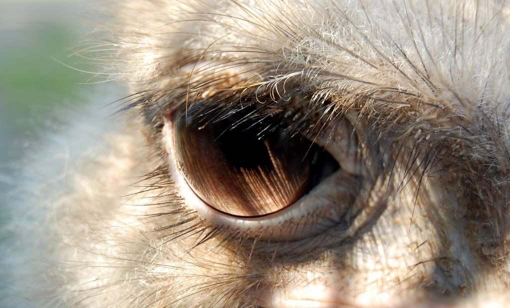An Ostrich'S Eye Is Larger Than Its Brain