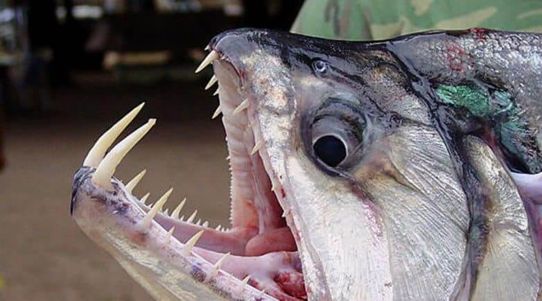 Fanged Fish