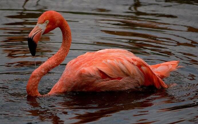 Flamingo Could Live To Be 83 Years Old