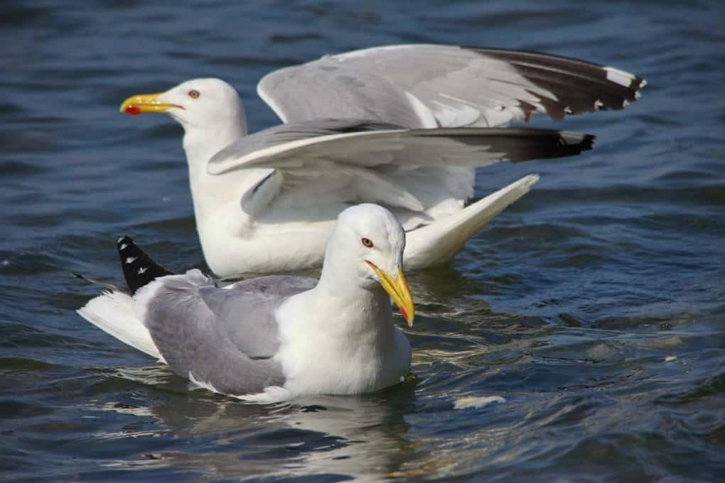Gulls Can Drink Salt Water