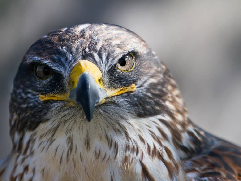 Hawk'S Eyesight Is 8 Times Better Than That Of Humans