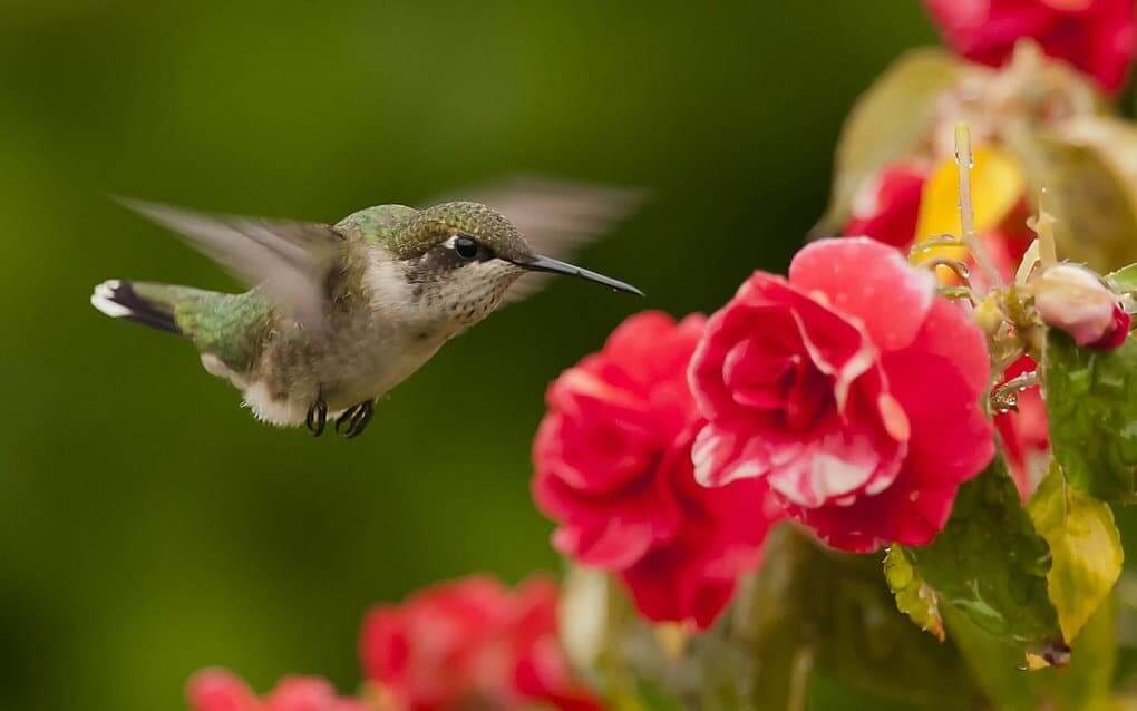 Hummingbird Eats 2 Times More Than Its Own Weight Per Day