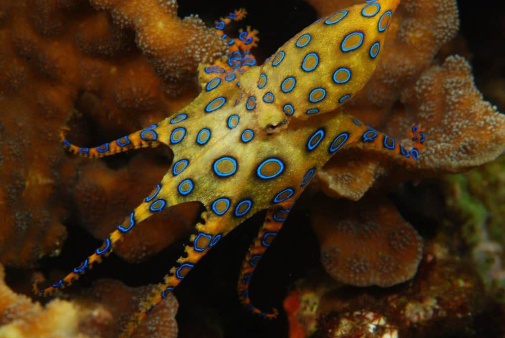 Southern Blue Ringed Octopus