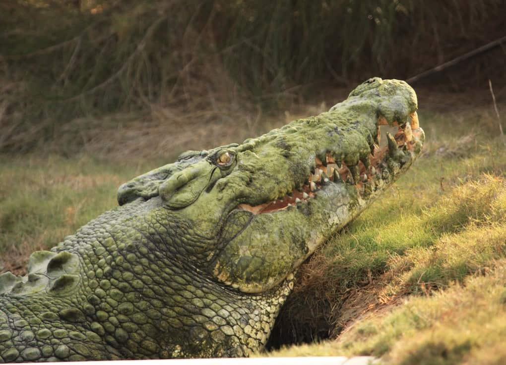 Triple Crest Crocodile