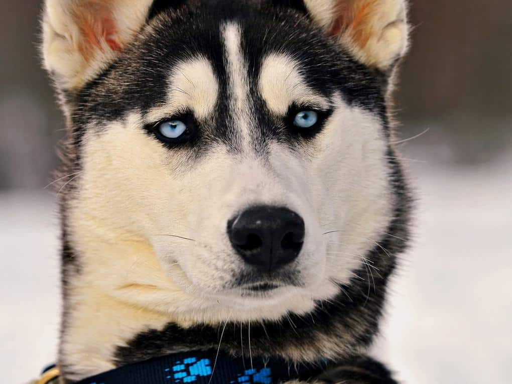 Huskies Can'T Bark Normally