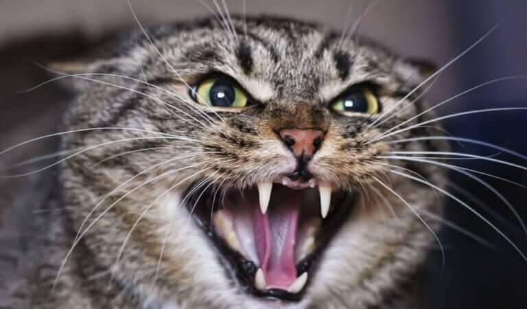 10 most aggressive cats