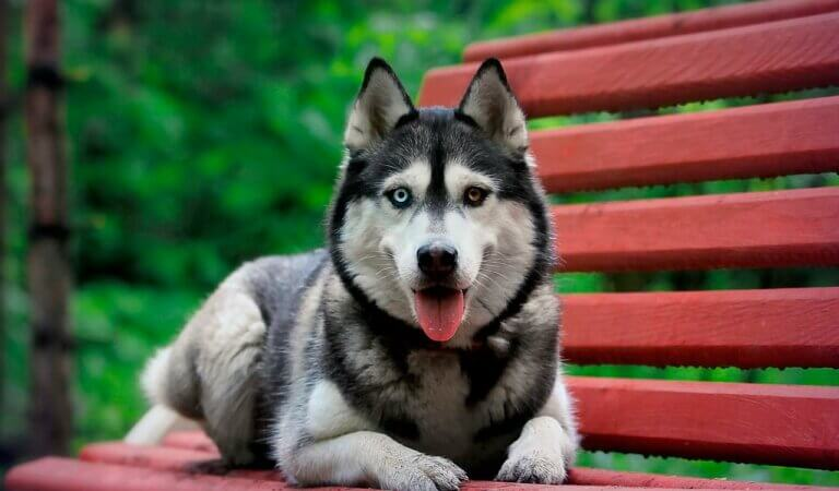 10 reasons not to get a husky